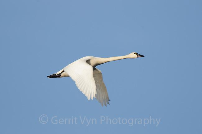 Adult Tundra Swan (Cygnus colmbianus) in flight. Montezuma NWR, New York. March.
