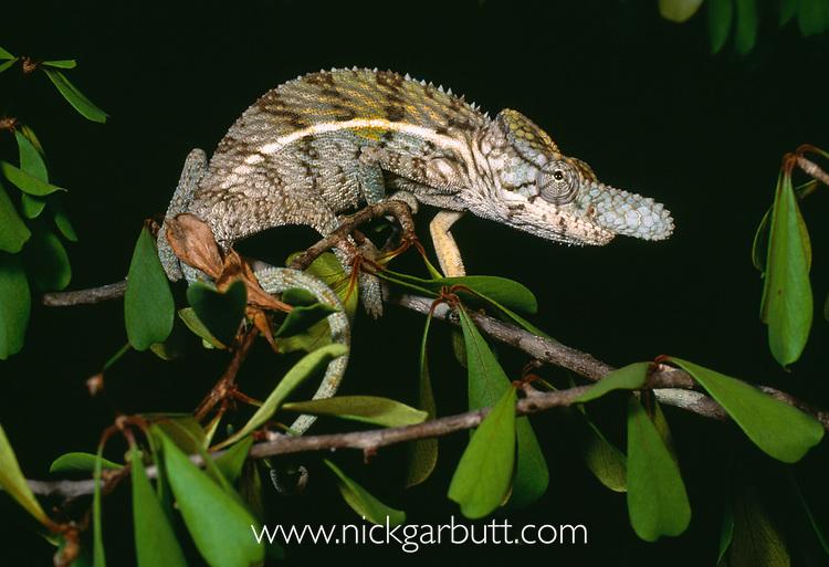 Male rhinoceros chameleon (Furcifer rhinoceratus). Ankarafantsika National Park, north west Madagascar.
