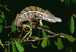 Male rhinoceros chameleon (Furcifer rhinoceratus). Ankarafantsika National Park, north west Madagascar.