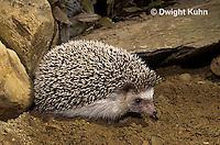 MA42-052z   African Pygmy Hedgehog - Atelerix albiventris