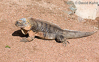 0629-1103  Exuma Island Iguana (Northern Bahamian Rock Iguana), Bahamas, Cyclura cychlura figginsi  © David Kuhn/Dwight Kuhn Photography