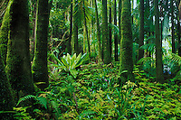 The lush rainforests of the Big Island of Hawaii.   This photo taken at Onomea Rainforest and Flower Jungle in the Hawaii Tropical Botanical Gardens. near Hilo.