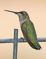 Subadult male black-chinned hummingbird