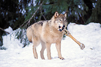 gray wolf, Canis lupus, eating a dead moose, Alces alces, in the foothills of the Takshanuk mountains, northern southeast, Alaska, USA