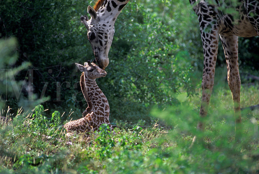 A newborn MAASAI GIRAFFE (Giraffa Camelopardalis) is so young it has not yet stood up - TANZANIA, LAKE MANYARA NATIONAL PARK