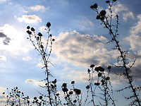 """Sky and crops stock image, silhouettes of plants against the sky of Cyprus.<br /> <br /> This image is also available in monochrome. View the gallery-""""Black & White Fine Art Images""""."""