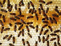 Honey bee biology Inside the hive