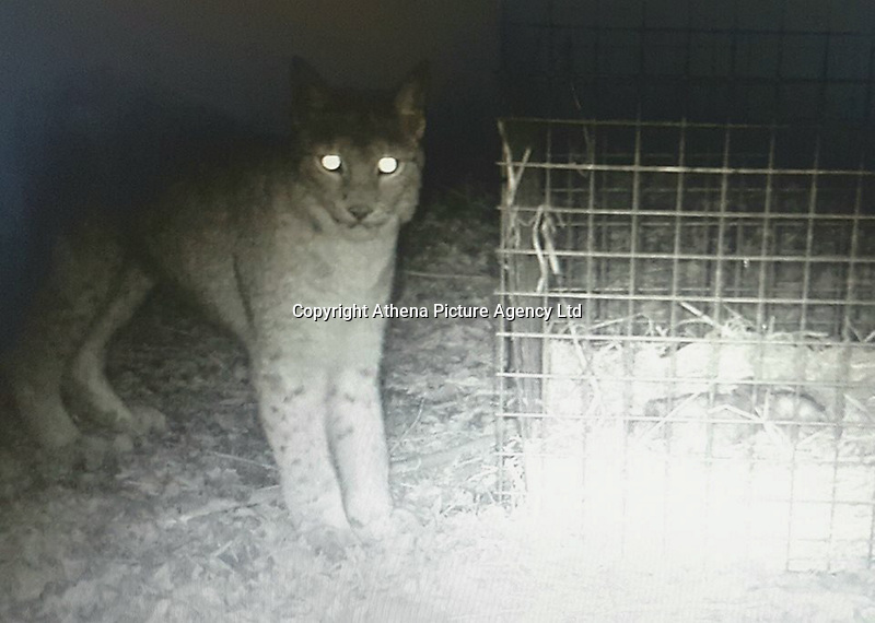"""COPY BY TOM BEDFORD<br /> Pictured: Picture showing the missing lynx standing next to a baited cage<br /> Re: A second lynx, belonging to a zoo where one escaped and was later shot, has died following a """"handling error"""".<br /> The news comes after Lilleth the lynx was 'humanely destroyed' on Friday after escaping from Borth Wild Animal Kingdom.<br /> In a statement, the zoo confirmed an investigation was under way after the death of the second lynx, Nilly.<br /> The Lynx UK Trust called for the zoo to be closed, saying the deaths were """"unacceptable"""".<br /> The statement from the zoo said: """"It is with deep sadness and regret we announce the demise last week of Nilly, an adult female lynx, who was unrelated to Lilleth but shared an enclosure."""