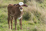 Brazoria County, Damon, Texas; a spotted, newborn calf with it's umbilical cord still partially attached, standing in a pasture