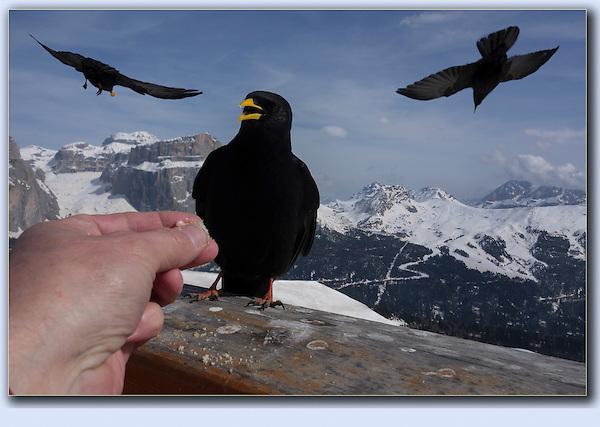 John feeding the ravens in the Italian Dolomites.