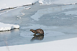 A northern river otter stands near open water at Oxbow Bend in Grand Teton National Park, Wyoming.