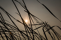 Long strands of cattail grass trace  dark lines against a hazey from wildfires and they provide a frame for the smoke filtered sun on the last day of August 2020.
