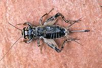 Waldgrille, Weibchen, Wald-Grille, Grille, Nemobius sylvestris, wood cricket, female, wood-cricket, woodcricket, Grille, Grillen, Gryllidae, Cricket, Crickets