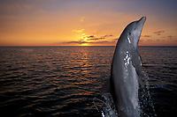 bottlenose dolphin, Tursiops truncatus (c-r), leaping in sunset Roatan, Honduras (Caribbean)