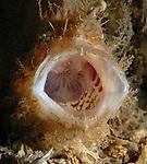 Striated Frogfish, Antennarius striatus
