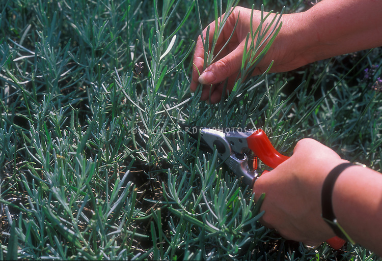 Woman picking lavender stems in the garden, using hand pruners tool