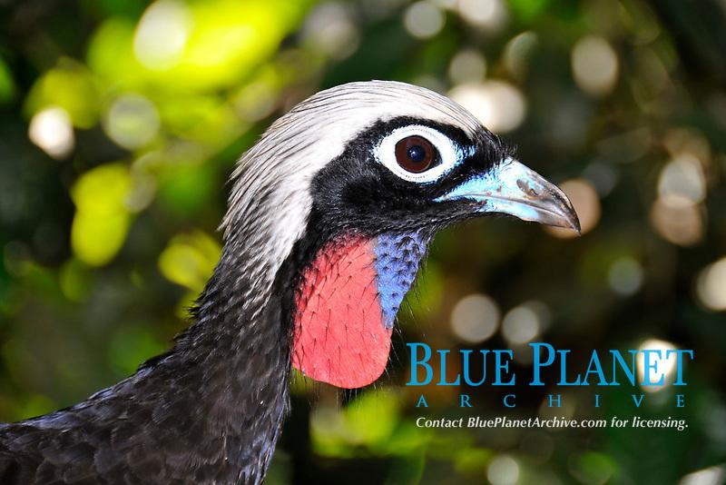 Black-fronted Piping-guan, Pipile jacutinga, Parque das Aves, head detail, Parana, Brazil