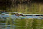 North American beaver swimming in northern Wisconsin
