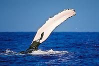 humpback whale, Megaptera novaeangliae, flippering, pec-slapping or pectoral slap, Hawaii, USA, Pacific Ocean
