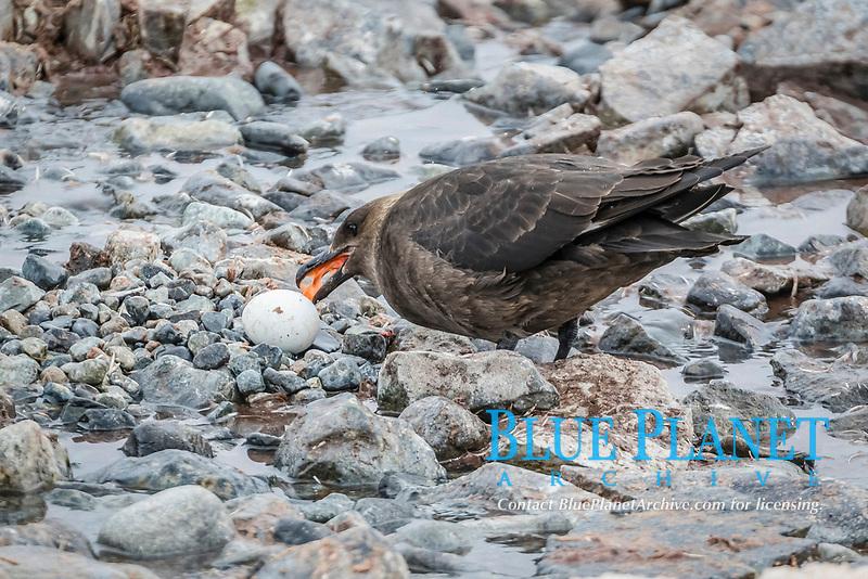 brown skua, or Antarctic skua, Stercorarius antarcticus, adult feeding on a stolen gentoo penguin egg, Pygoscelis papua, at Cuverville Island, Antarctica, Southern Ocean