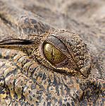Saltwater crocodile, Kakadu National Park, Australia