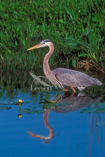Great Blue Heron.(Ardea herodias). Everglades National Park, Florida.USA.