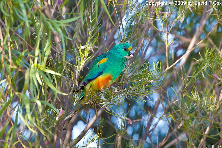 Mulga Parrot male, Arid Lands Botanic Garden, Pt Augusta, SA, Australia
