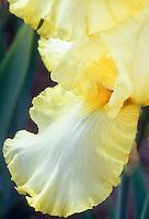 Iris Early Light, intermediate bearded iris yellow picotee edges and white flowers with orange-yellow beard perennial flower, macro closeup of fall