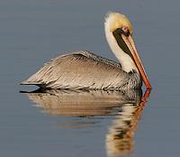 Adult, Atlantic-form, brown pelican in breeding plumage on water