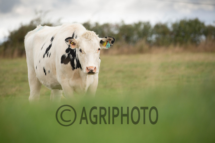 5-10-2021 Replacement dairy heifers grazing <br /> ©Tim Scrivener Photographer 07850 303986<br />      ....Covering Agriculture In The UK....