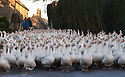 """19/11/16<br /> <br /> Waddling down a frosty lane a flock of 500 geese take their daily morning walk from their barn through the village of Croxton Kerrial, near Grantham. <br /> <br /> The geese spend their day grazing in a field over-looked by the village church in Lincolnshire, before waddling back to their warm barn again at dusk. <br /> <br /> Richard Botterill who owns Botterill & Son in Croxton Kerrial near Grantham, said: """"The geese have fattened up well this year because of the warm summer - they're about 10% heavier than normal. They've gained weight because they haven't had to burn up their food just keeping warm.""""<br /> <br /> But you'll need to be quick if you want to have a gander at these feathery commuters, as the six-month-old birds will all take their last stroll through the village next week as demand for goose on the Christmas dinner table continues to rise year-on-year.<br /> <br /> The farm has a total of 1500 geese and also supplies turkeys, duck and chicken for Christmas.<br /> <br /> The geese have walked through the village for 25 years.<br /> <br /> All Rights Reserved F Stop Press Ltd. (0)1773 550665   www.fstoppress.com"""