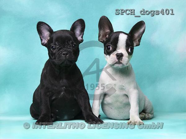 Xavier, ANIMALS, dogs, photos(SPCHdogs401,#A#) Hunde, perros
