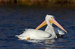 Two-headed White Pelican American White Pelican Rough-billed Pelican Pelecanus erythrorhynchos Sepulveda Wildlife Refuge Southern California