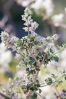 Condea emoryi (aka Hyptis emoryi) Bushmint, Desert Lavender flowering gray foliage shrub California native plant Anza Borrego State Park