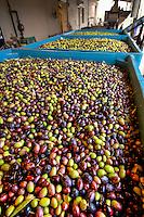 Olives arriving for crusher at McEvoy Olive Ranch, Olive oil processing and bottling