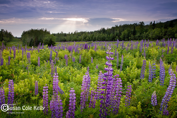 Lupines bloom in Jefferson, NH, USA