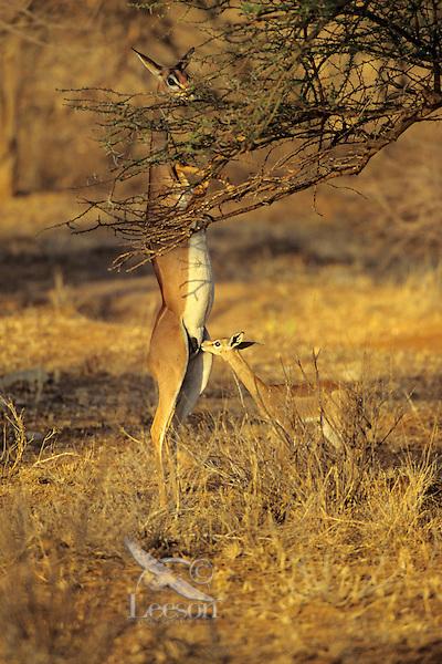 Gerenuk (Litocranius walleri) mother and baby feeding. Samburu National Reserve, Kenya.