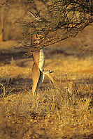 Gerenuk (Litocranius walleri) mother and baby feeding. Samburu National Reserve, Kenya.