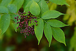 8234-DF Common Elderberry, Sambucus canadensis, fruit, leaf, at Oakdale, Minnesota