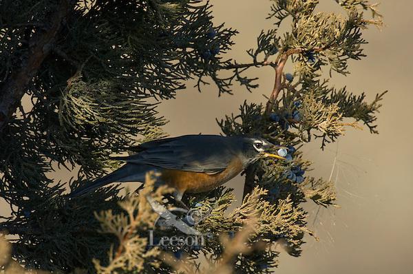 American Robin (Turdus migratorius) feeding on juniper berries.  Western U.S., November.