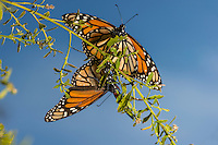 Western Monarch Butterflies (Danaus plexippus) mating.  California.  February.