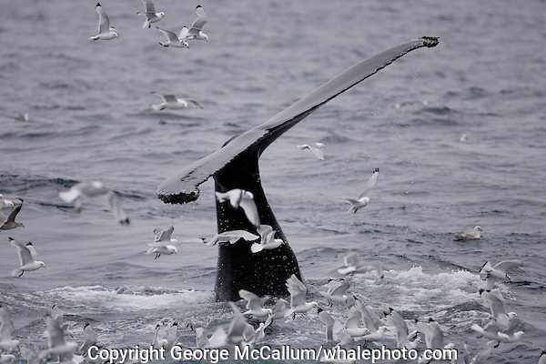 Humpback whale Megaptera novaeangliae raising tail to dive near Spitzbergen Arczic Norway