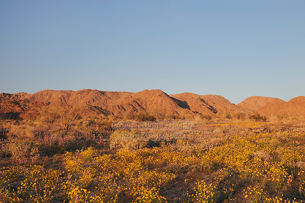 Parish's Gold Poppy (Eschscholzia parishii), Chia (Salvia columbariae), Joshua Tree National Park, California, USA