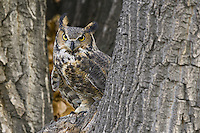 Great Horned Owl standing in the crook of a tree