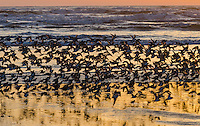 Mixed flock of shorebirds--mostly dunlins and western sandpipers--migrating north along Pacific Ocean Coast,  Washington State.  Sunset.