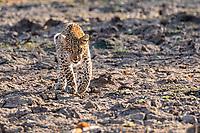 Africa, Zambia, South Luangwa National Park, leopard alert