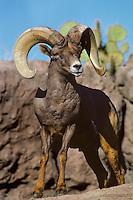 Desert Bighorn Sheep ram (Ovis canadensis)