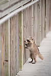 Ding Darling National Wildlife Refuge, Sanibel Island, Florida; a juvenile Raccoon (Procyon lotor) climbs up the wooden supports to the next level of the ramp leading up to an observation tower © Matthew Meier Photography, matthewmeierphoto.com All Rights Reserved