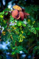 Seed pods of the uhiuhi plant (Caesalpinia kavaiensis), a rare endangered native Hawaiian plant, Kaupulehu