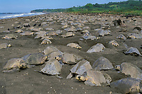 """arribada"" - mass nesting of olive ridley sea turtle, Lepidochelys olivacea, female, nesting, Playa Ostional, Costa Rica, Pacific Ocean"